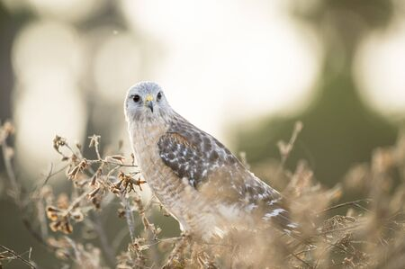 A Red-shouldered Hawk perched in a bush in soft morning light with an intense look in its eyes.