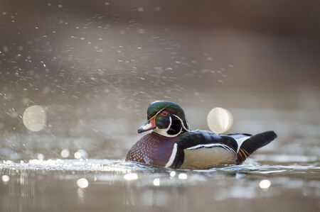 A colorful male Wood Duck swimming in water in soft overcast light with a smooth brown background. Standard-Bild