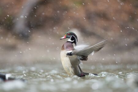 A male Wood Duck flaps its wings in the water on a snowy winter day. Standard-Bild