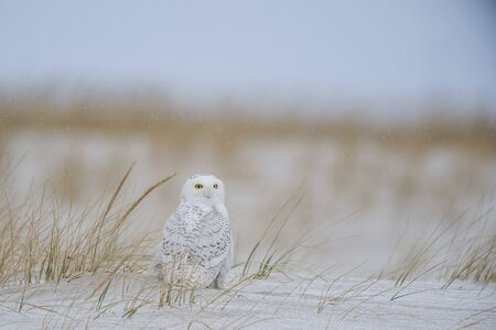A Snowy Owl sitting on a sand dune with brown grass around it in a light snow on a cold winter day.