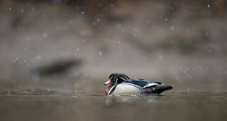 A male Wood Duck swims in the water on a light snowing day in soft overcast light.