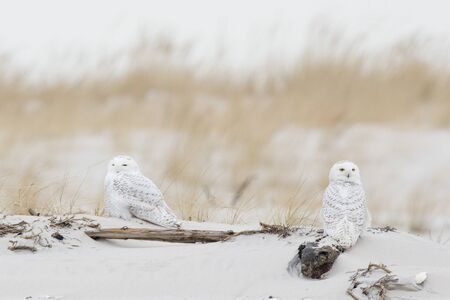 A pair of Snowy Owls perched on a sand dune with brown dune grass in the background in soft overcast light.