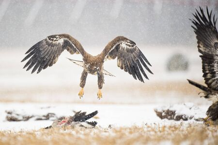 A juvenile Bald Eagle flies in a light snowfall on a cold winter day in an open field with carcasses on the ground. Standard-Bild