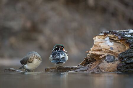 A pair of Wood Ducks perched on a log over water in soft light with a smooth brown background.