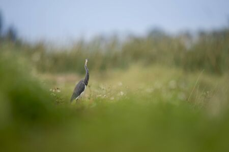 A Tricolored Heron stands in bright green grass with a smooth out of focus foreground in soft overcast light. Standard-Bild