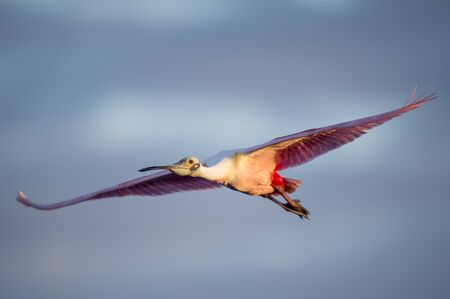 A bright pink Roseate Spoonbill flying with its wings stretched out in the early morning sunlight.