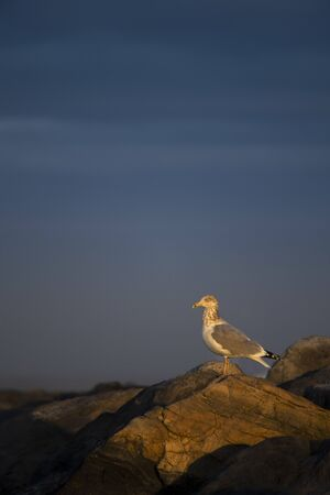 A Herring Gull perched on a jetty rock in the early morning golden sunlight with a dark blue stormy sky background. Standard-Bild