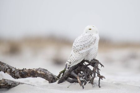 A Snowy Owl perched on driftwood sitting on a beach with the dunes behind it in a light snow on a cold winter day.