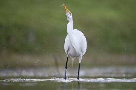 A Great Egret stalking prey in shallow water with a smooth green background in soft overcast light. Standard-Bild
