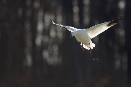 A Snow Goose landing with its wings out against a dark tree background glowing in the bright sunlight. Standard-Bild