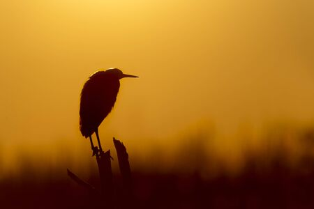 A Snowy Egret perched on a dead tree silhouetted against the bright orange sunrise sky.