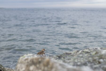 A scenic view of a small Ruddy Turnstone perched on jetty rocks with the ocean water in the background in soft overcast light. Standard-Bild