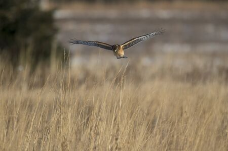 A Northern Harrier flies over an open field as the golden setting sunlight shines on it.