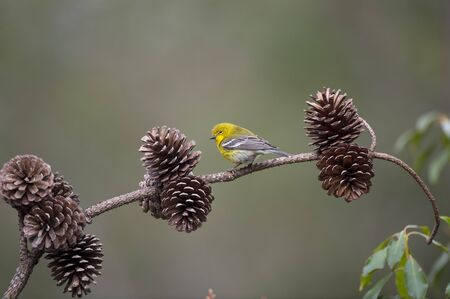 A bright yellow Pine Warbler perched on a branch with pine cones with a smooth background and soft overcast light. Standard-Bild