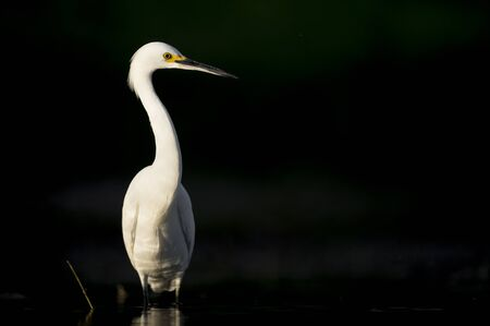 A close-up portrait of a Snowy Egret in the bright sun against a dark black background.