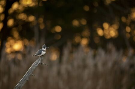 A Belted Kingfisher perched on a dead log with sparkling sun filtering through the trees behind it early in the morning.
