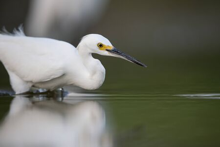A Snowy Egret stalks the shallow water in search of food with a dark smooth background.