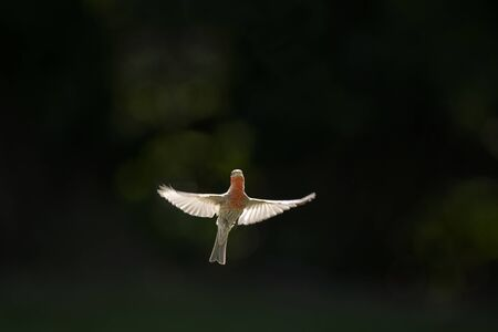 A House FInch hovers in front of a black background as the sun glows through its wings. Standard-Bild