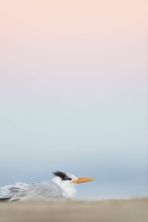 Royal Tern resting on the beach after sunset with pastel blue and pink colors in the background.