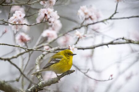 Bright yellow Pine Warbler perched in a flowering tree in spring in sotf overcast light.