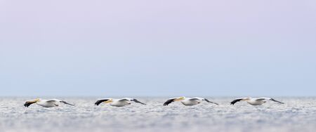 Line of American White Pelicans flying low over the water with a pastel pink and blue sky background. Standard-Bild