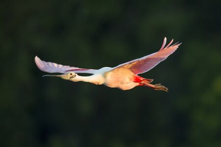 A Roseate Spoonbill flying with its bright pink wings showing in the soft early morning sunlight. Standard-Bild