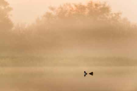 A pair of Hooded Mergansers float on calm water in a scenic foggy early morning scene at sunrise.