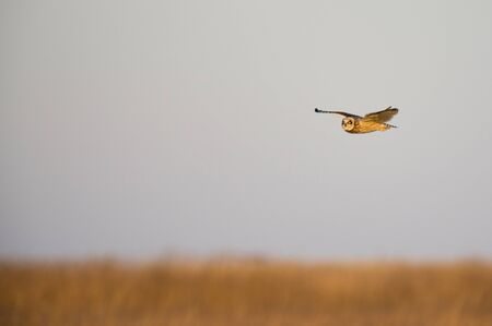 A Short-eared Owl flies over a field of brown grasses glowing in the golden sunlight at sunset.