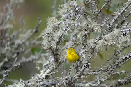 A bright yellow Pine Warbler perched in a branch with a smooth background in soft overcast light.