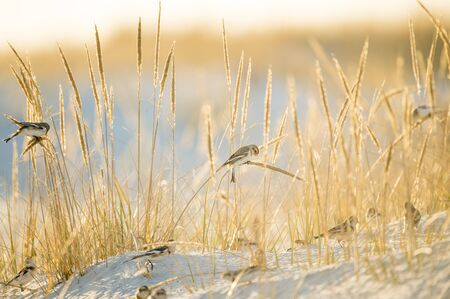 A small group of Snow Buntings feeding on golden dune grasses in the bright winter sunlight on a beach.
