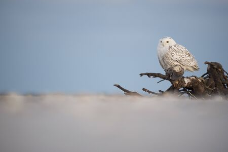 A Snowy Owl perched on large driftwood on a sandy beach in the winter with a pastel blue dusk sky background. Standard-Bild