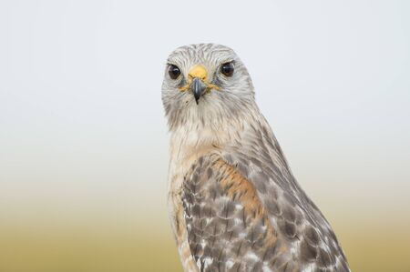 A close portrait of a Red-shouldered Hawk with a smooth background in soft light with its piercing eyes. Standard-Bild