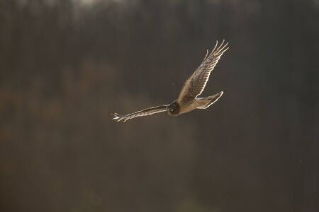 A Northern Harrier flies in front of a dark background as it glows in the setting sunlight flying over an open field.