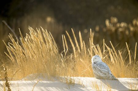 A Snowy Owl perched on a sand dune with golden glowing dune grasses around it in the bright winter sunlight. Standard-Bild