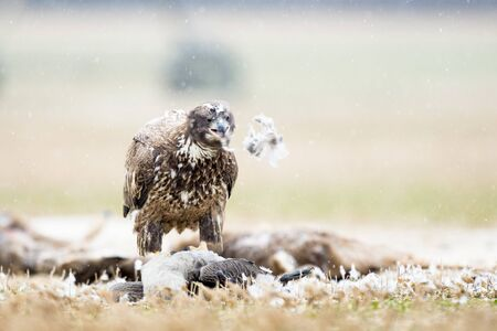 A juvenile Bald Eagle stands on a carcass in a farm field on a snowy winter day. Standard-Bild