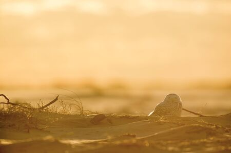 A Snowy Owl sitting on a small hill of sand on an open beach as it glows in the bright setting sunlight.