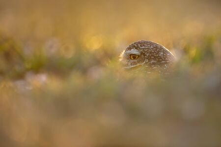 Florida Burrowing Owl peeking out of its burrow as it glows in the golden setting sunlight.