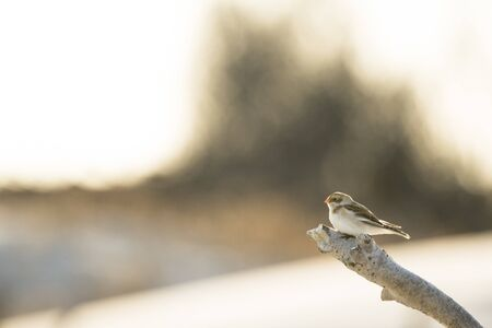 A Snow Bunting perched on a branch of driftwood glowing in the sunlight.