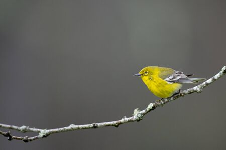 A bright yellow Pine Warbler perched on a branch with green lichens growing on it with a smooth background.