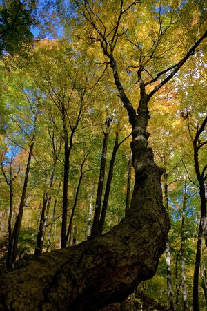Twisty trunk in fall forest