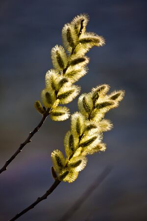 Stunning backlit pussy willows