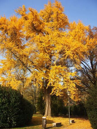 tree with yellow leaves, in the park