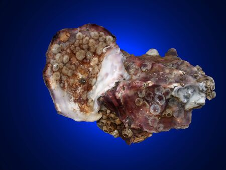 oyster isolated on a blue background photo