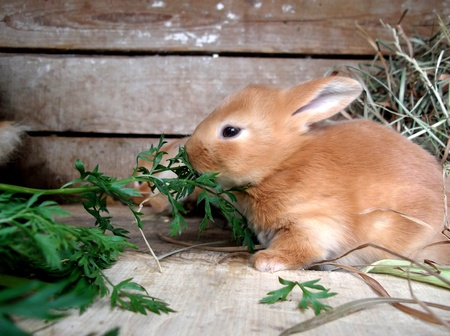 Cute  rabbit eats grass