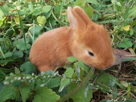 mealtime: Cute  rabbit eats grass