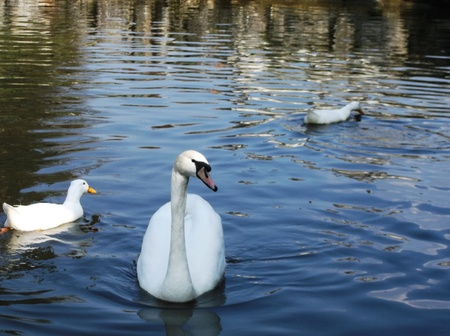 White swan on water Stock Photo - 12930642