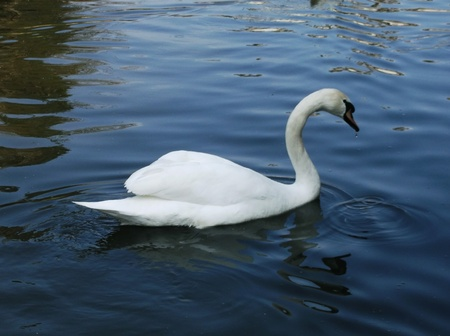 White swan on water Stock Photo - 12930639