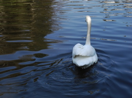 White swan on water Stock Photo - 12930640