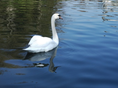 White swan on water Stock Photo - 12930641