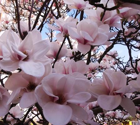 Magnolia flowers photo